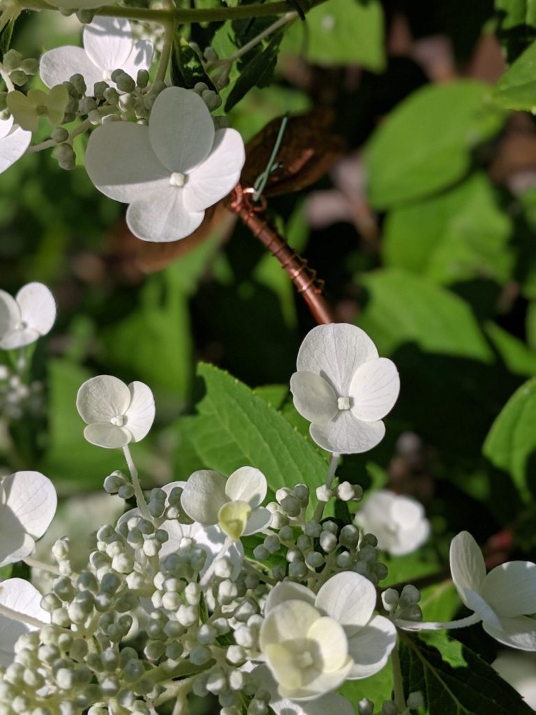 crazywort-flowers