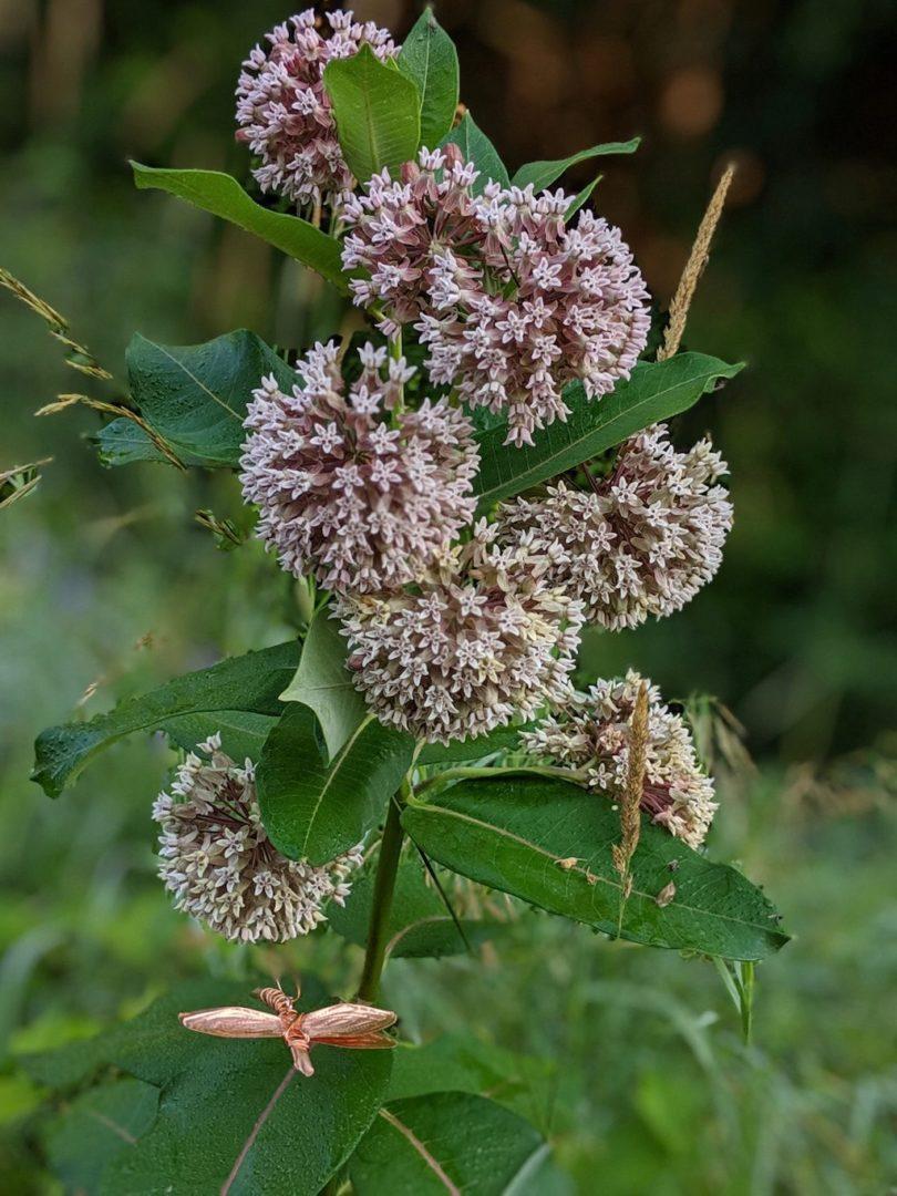 delta-on-milkweed